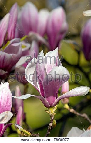 Magnolia soulangeana - saucer magnolia - Stock Photo