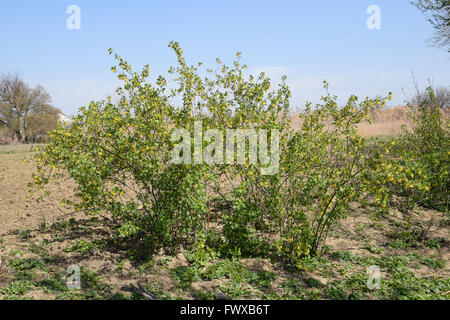 Flowering currant bush gold. Spring flowering garden berries. - Stock Photo