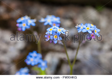 Forget-me-not (Myosotis) in the mountains in South Tyrol, Italy - Stock Photo
