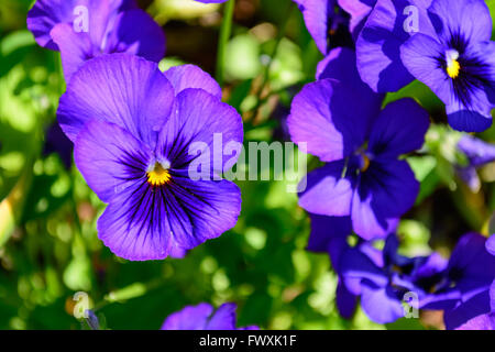 Purple Pansy with Bright Yellow Center Selective Focus Foreground with Pansies and green in background - Stock Photo