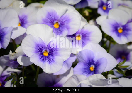 Lilac, Purple and Yellow Pansies in Garden - Stock Photo