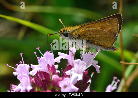 Lulworth skipper (Thymelicus acteon) nectaring on wild marjoram. Extremely local butterfly in the family Hesperiidae - Stock Photo