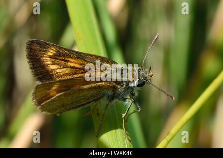Lulworth skipper (Thymelicus acteon) showing marking on forewing. Extremely local butterfly in the family Hesperiidae - Stock Photo