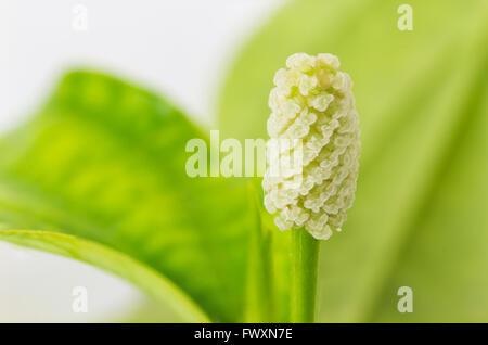 Closeup 'Piper Sarmentosum' flower on white background - Stock Photo