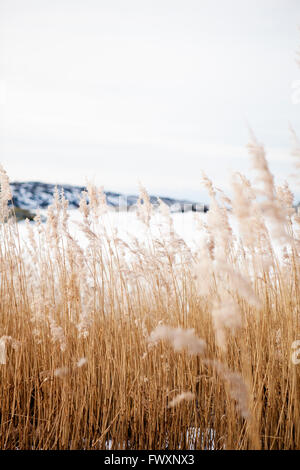 Sweden, Bohuslan, Orust, Mollosund, Brown grass in winter - Stock Photo