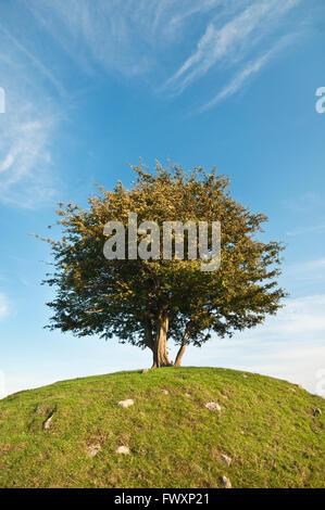 Sweden, Skane, Osterlen, Cherry tree on hill - Stock Photo