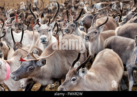 Sweden, Lapland, Levas, Herd of reindeer (Rangifer tarandus) - Stock Photo