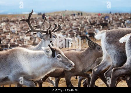 Sweden, Lapland, Levas, Close-up of herd of reindeer (Rangifer tarandus) - Stock Photo