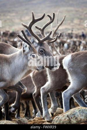 Sweden, Lapland, Levas, Close-up of herd of reindeer (Rangifer tarandus) - Stock Photo