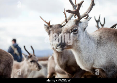 Sweden, Lapland, Levas, Portrait of reindeer (Rangifer tarandus) in herd - Stock Photo