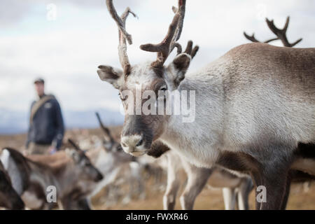 Sweden, Lapland, Levas, Reindeer (Rangifer tarandus) looking at camera - Stock Photo