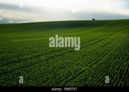 Sweden, Sodermanland, Jonaker, Green field of wheat under cloudy sky - Stock Photo