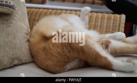 Ginger cat stretched out asleep on his back - Stock Photo