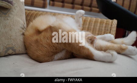 Ginger cat stretched out asleep on the sofa with front legs above head - Stock Photo