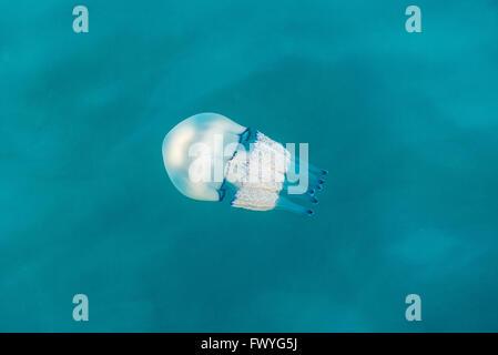 Barrel jellyfish (Rhizostoma octopus), Adriatic Sea, Friuli-Venezia Giulia, Italy - Stock Photo