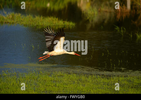 White stork (Ciconia ciconia) flying over a wetland, Xanten, Lower Rhine, North Rhine-Westphalia Germany - Stock Photo