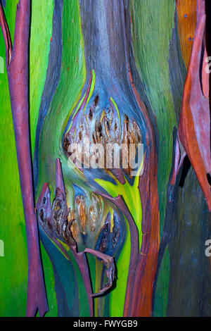 Colorful bark on the trunk of a Rainbow Eucalyptus tree (Eucalyptus deglupta), Chiang Mai, Thailand - Stock Photo