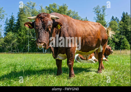 Brown and white spotted bull with nose ring in the pasture, bull, domestic cattle (Bos primigenius taurus), Sachsenkam - Stock Photo