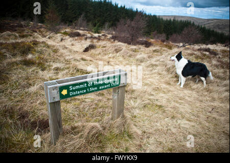 border collie dog next to sign post to Innerdownie hill above Glenquey farm, Glen Devon, Perth and Kinross, Scotland, - Stock Photo