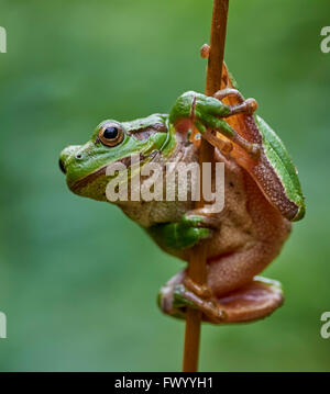 Close up of european tree frog (Hyla arborea) hanging on a straw - Stock Photo