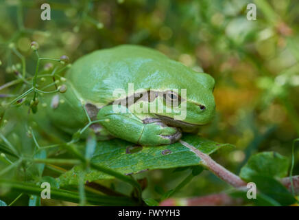 Close up of european tree frog (Hyla arborea) sitting on a green leaf - Stock Photo