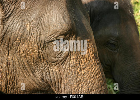 Full frame Close up of two Indian elephant profiles centered on the eye - Stock Photo