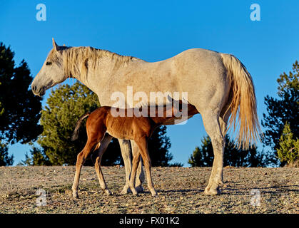A brown foal nursing milk from his mother in the wilderness - Stock Photo