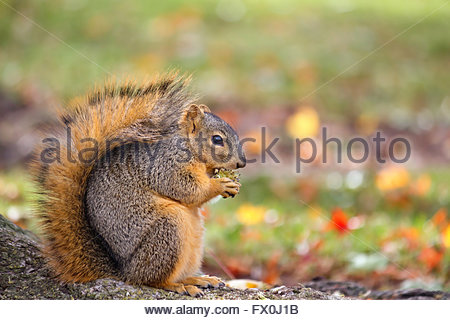 Fox squirrel eating nut in Autumn - Stock Photo