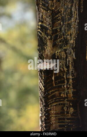 after marks of resin/rubber extraction on a pine tree. - Stock Photo