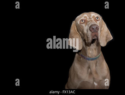 A crop of a Weimaraner dog in a studio against a black background - Stock Photo