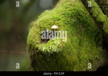Mushroom growing out of moss on tree stump Strathyre  Cowal & Trossachs - Stock Photo