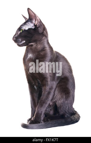 black oriental shorthair cat portrait, isolated on white background - Stock Photo