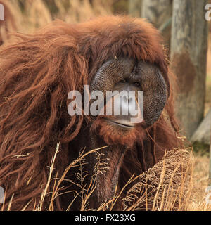 Male Orangutan. The orangutans are the two exclusively Asian species - Stock Photo
