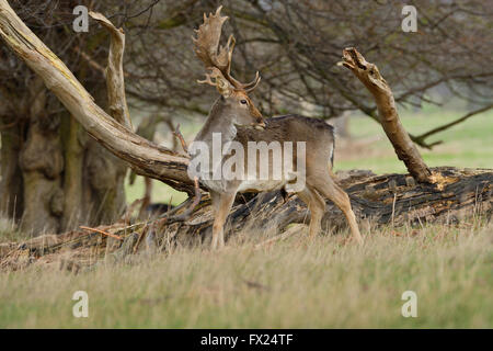 A beautiful stag is seen standing against a fallen tree. - Stock Photo