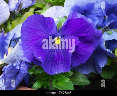 Blue and violet pansies flowers in garden with dew drops on petals. Closeup. View from top. Slightly blurred background. - Stock Photo