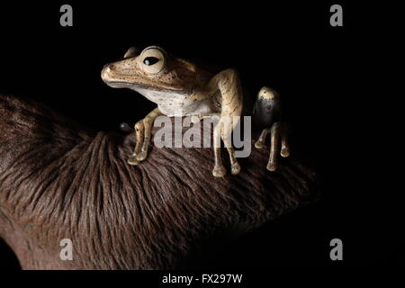 brown tree frog sat on branch - Stock Photo