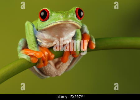 Red-eyed tree frog sat on bamboo Stock Photo