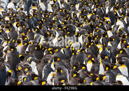 King penguin (Aptenodytes patagonicus) colony, St. Andrews Bay, South Georgia Island - Stock Photo