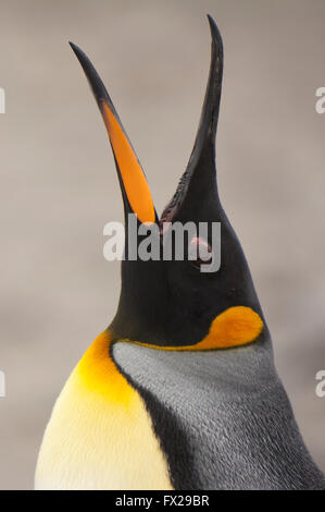 King penguin (Aptenodytes patagonicus) callling, St. Andrews Bay, South Georgia Island - Stock Photo