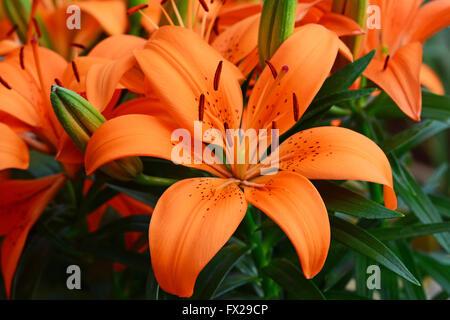 Lilium, Orange flower - Stock Photo