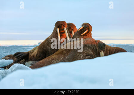 Last rays of evening sun striking a group of Walrus (Odobenus rosmarus, Wrangel Island, Chuckchi Sea, Chukotka - Stock Photo