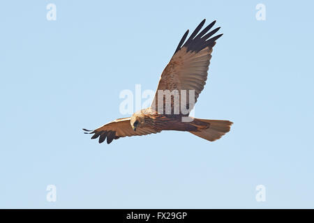 Western Marsh Harrier in flight - Stock Photo