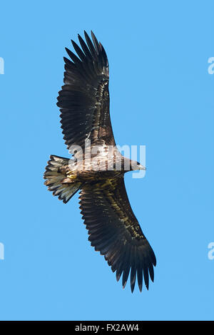 White Tailed Eagle in flight with blue skies in the background - Stock Photo