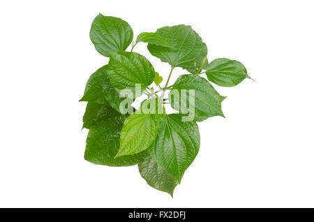 Piper sarmentosum isolated on  white background - Stock Photo