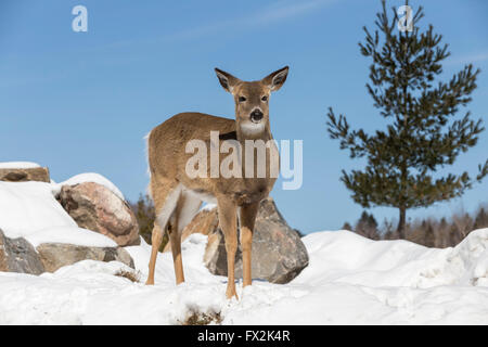 Lone white tail deer in spring snow - Stock Photo