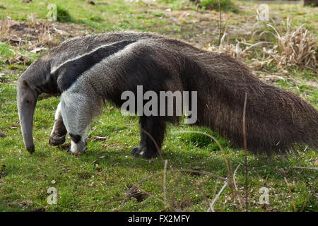 Giant anteater (Myrmecophaga tridactyla), also known as the ant bear at Budapest Zoo in Budapest, Hungary. - Stock Photo