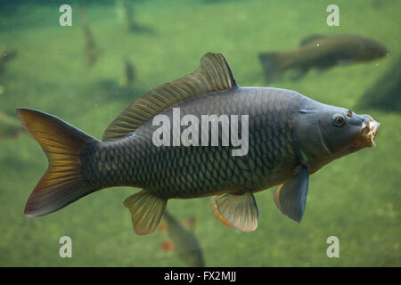 Wild common carp (Cyprinus carpio) at Budapest Zoo in Budapest, Hungary. - Stock Photo