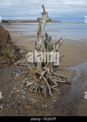 Dead tree stump Filey Beach - Stock Photo