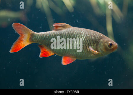 Common rudd (Scardinius erythropthalmus) at Budapest Zoo in Budapest, Hungary. - Stock Photo