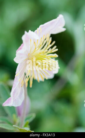 Wild Clematis (Clematis x Clematopsis) - Buttercup Family, - Stock Photo